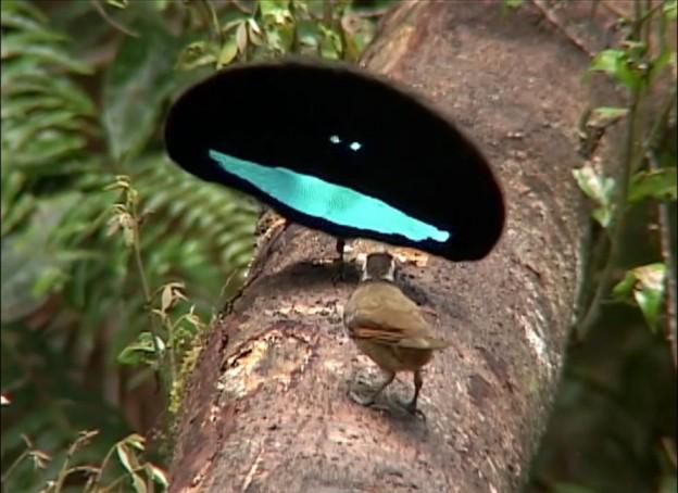 d couverte de nouvelles esp ces d 39 oiseaux de paradis jamais vu auparavant. Black Bedroom Furniture Sets. Home Design Ideas
