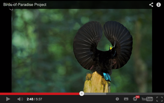 vidéo youtube oiseaux de paradis